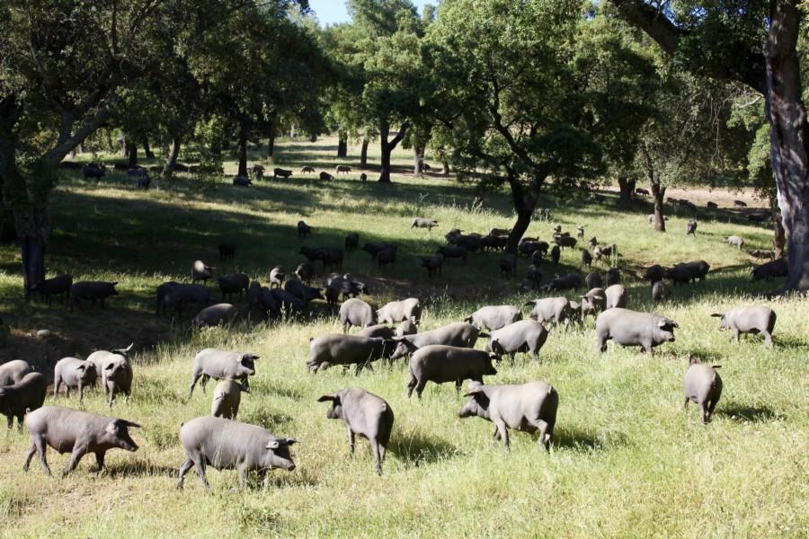 Jabugo, berceau du porc noir ibérique…