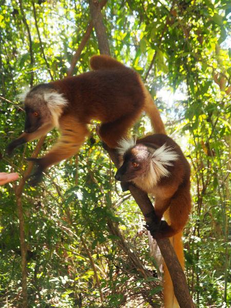 lemuriens-mada
