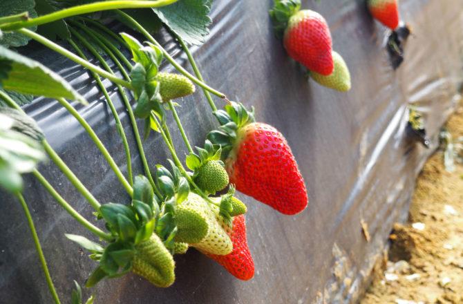 Zoom sur la fraise d'Europe, du pour du contre, du bon du moins bon, qu'en est il aujourd'hui ?